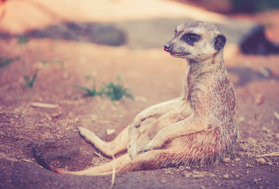teamwork lessons from a meerkat